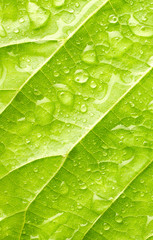 Texture of leaf with drops of water