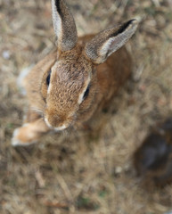 young rabbit with long ears