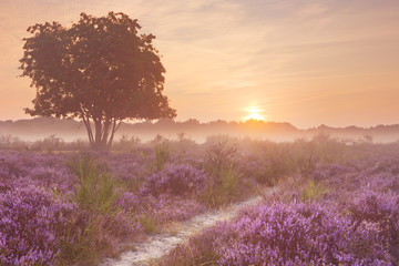Fog over blooming heather in The Netherlands at sunrise