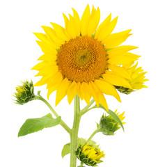 flower sunflower isolated on white background