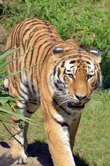 Poster de jardin Tigre tigre cammina su un prato