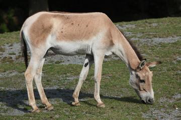 Printed roller blinds Ass Turkmenian kulan (Equus hemionus kulan).