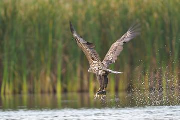 Junger Seeadler mit Beute