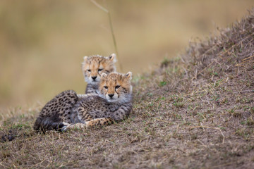 Cheetah with cubs around the savannah in Kenya, Africa