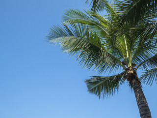 Coconut Tree 3 - Coconut tree under blue sky with sunlight in the afternoon