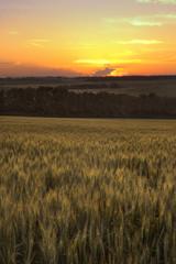Foto auf Gartenposter Landschappen ripen wheat field in the last rays of the sun