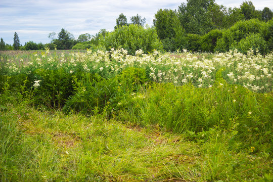 Thickets of meadowsweet