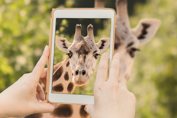 Taking snapshot of giraffe with a tablet.