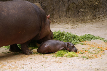 Baby hippopotamus resting at zoo with mother