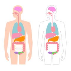 人体 内臓 イラスト