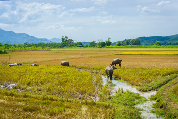 Buffaloes on the rice field in Asia