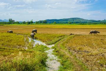 Buffaloes on the rice field