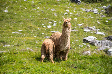 alpaca portrait while looking at you and milking puppy