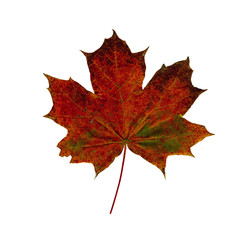 Red dry Maple leaf isolated on white background.