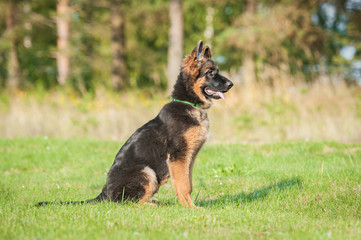 German shepherd dog on the obedience training