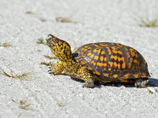Box Turtle Crossing the Road