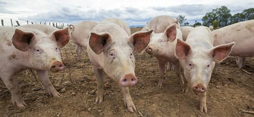 Panoramic view of pigs