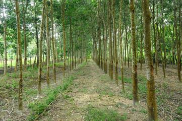 Rubber Tree or Hevea brasiliensis plantation in Malacca, Malaysia