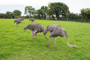 group of female ostriches eating grass