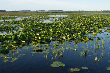 Lake Water Lily Pads