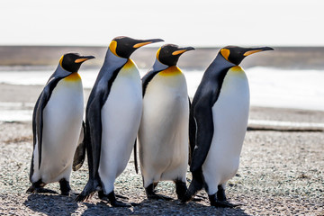 Four King Penguins (Aptenodytes patagonicus) standing together o
