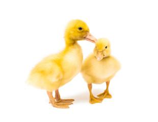 little yellow ducklings
