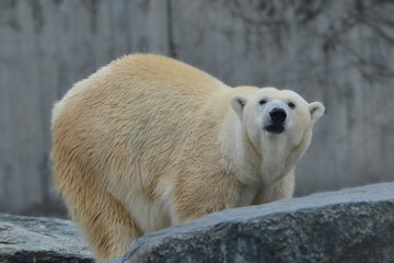 Foto op Aluminium Ijsbeer Neugieriger Eisbär