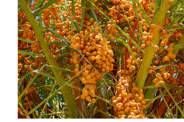 A view on a Date Palm Tree With Unripe yellow Fruit Clusters