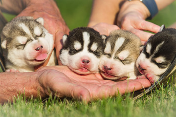 Four puppies Siberian Husky. Litter dogs in the hands of the breeder. Newborn puppies with eyes closed