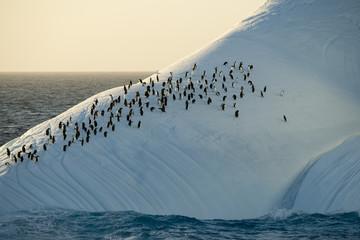 Manchot à jugulaire, Manchot Papou, Iceberg, Mer de Weddell, Antarctique