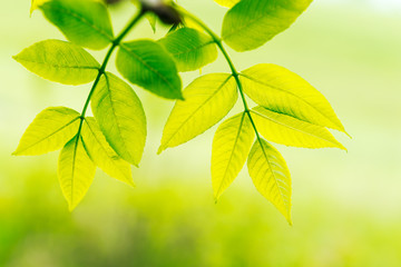 Green leaves in sunlight  on yellow background. Spring background.