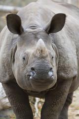 Portrait Indian rhinoceros, Rhinoceros unicornis