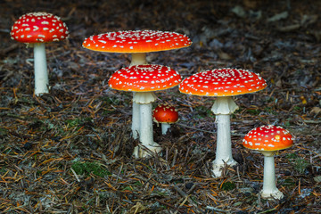 Group of Amanita Muscaria mushrooms in a forest