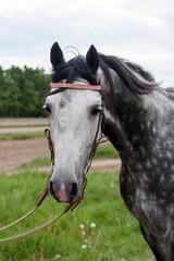 racehorse head close-up