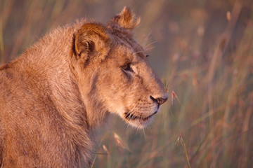 African lioness peaceful in the savannah grasslands. (Panthera Leo)