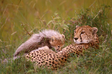 African cheetah mother playing with her cub in the grass. (Acinonyx Jubatus)