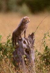 African cheetah cub standing proudly on log. (Acinonyx Jubatus)
