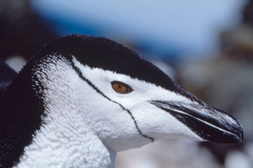 Close-up of chinstrap penguin in Falkland islands. (Pygoscelis Antarticus)