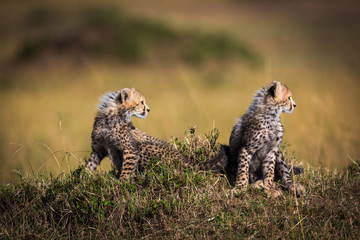 Cheetah cubs around the savannah in Kenya, Africa