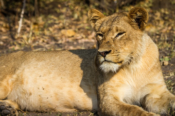 A beautiful lioness in the middle of the bush in the Chobe National Park, Botswana, Africa