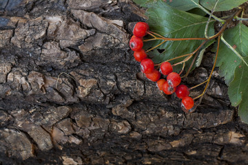 Bunch of red ashberry, sorbus on the tree bark, close-up