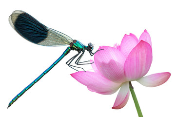 Dragonfly on a water lily close-up