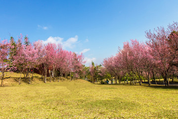 Wild Himalayan Cherry flower (Prunus cerasoides)  cherry blossom