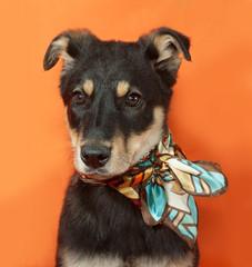 Small black and yellow puppy in motley bandana sitting on orange