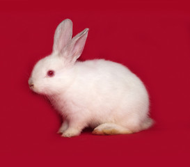 White rabbit sitting on red