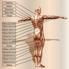 Vector 3D human male anatomy with muscles and text