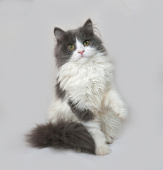 Fluffy gray and white kitten sitting on gray