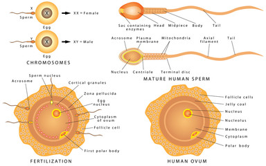 Conception ovum and sperm