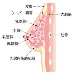 女性の胸 断面図