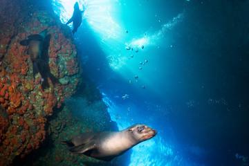 Young puppy californian sea lion touching a scuba diver